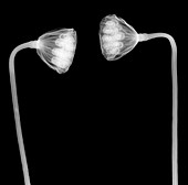 Lotus seed head, X-ray