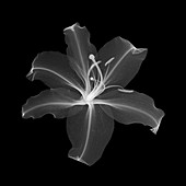 Lily, X-ray