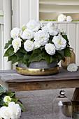 Begonia AmeriHybrid® 'Ruffled White'