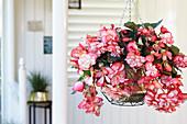 Begonia 'Sundancer ™ Weiß Pink'