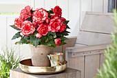 Begonia AmeriHybrid® 'Picotee Flamenco'