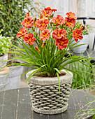 Hemerocallis Younique Orangefarben