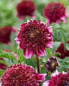 Dahlia Collarette 'Anemone Purple-White'