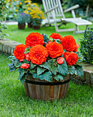 Begonia AmeriHybrid® 'Ruffled Orange'