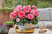 Begonia AmeriHybrid® 'Picotee White Pink'
