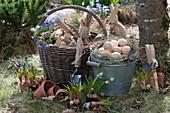 Traubenhyazinthen und Strahlenanemone zum Einpflanzen, Korb mit Utensilien und Zinkeimer als Osternest mit Ostereiern, Osterhasen