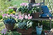 Tulpen 'Holland Chic', Vergißmeinnicht 'Myomark', Gänsekresse und Hornveilchen in Kisten und Körben an Baumbank im Garten