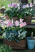 Tulpen 'Holland Chic', Vergißmeinnicht 'Myomark', Gänsekresse und Hornveilchen in Kisten und Korb an Baumbank im Garten