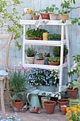 Blumentreppe mit Vergißmeinnicht 'Myomark', Schnittlauch, Jungpflanzen von Tomaten und Kapuzinerkresse, Thymian, Oregano und Töpfe mit Utensilien und Sämereien