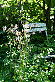 Blühende Akelei im schattigen Garten