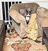 Portrait mischievous Boston Terriers caught chewing furniture cushion