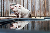 Cute pet pig at water dish