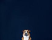 Portrait brown and white dog against dark blue background