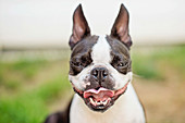 Portrait Boston Terrier puppy sticking tongue out