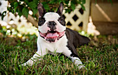 Portrait happy Boston Terrier dog relaxing in grass