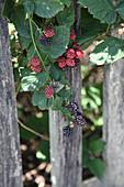 Brombeere mit roten und schwarzen Früchten