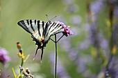 Schwalbenschwanz an Blüte von Verbene