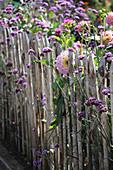 Patagonisches Eisenkraut und Dahlien am Gartenzaun