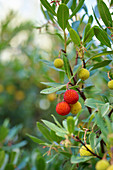 Erdbeerbaum mit gelben und roten Früchten