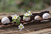 Blüten von Buschwindröschen in leeren Schneckenhäusern