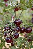 Rot-braune Tomaten an der Pflanze