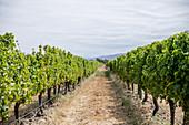 Lange Rebzeilen in Weinanbaugebiet