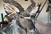 Antelope in taxidermy workshop