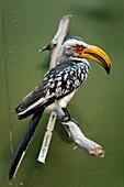 Mounted hornbill