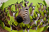 Mounted zebra and antelope heads