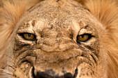 Stuffed lion's head