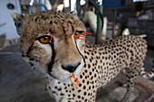 Cheetah in taxidermy workshop