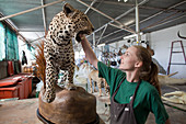 Leopard in taxidermy workshop