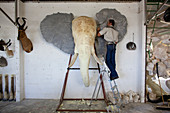 Mounted elephant skull in taxidermy workshop
