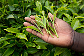 Tea leaves, Kenya