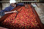 Checking harvested coffee cherries, Kenya