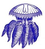 Barrel jellyfish, 19th century illustration