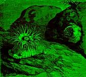 Berried sea anemones, 19th century illustration