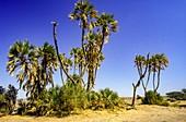 Doum palm (Hyphaene thebaica)