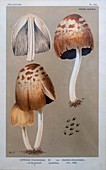 Pelliculosi mushroom, illustration