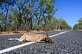 Dead kangaroo on road