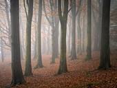 Beech (Fagus sylvatica) woodland