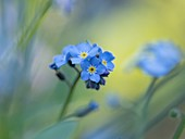 Field forget-me-not (Myosotis intermedia) flowers