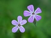 Herb robert (Geranium robertianum) flowers