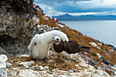 Brown booby parent and chick