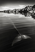 Fin whale tail