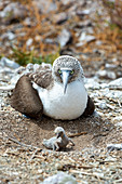 Blue-footed booby parent and chick