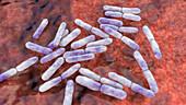 Bifidobacterium bacteria, illustration