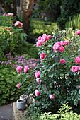Rose 'Leonardo da Vinci' an Rankstele