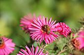 Biene auf Blüte von Raublattaster