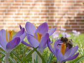 Biene an Krokusblüte
